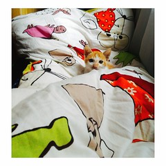 Bi ❤ (tramambi) Tags: photo picture cat pet love animal home bed like meow feliscatus kitty color sun summer white yellow family boy hanoi vietnam phone zenfone