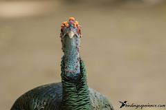 Ocellated Turkey (birdingexperience) Tags: birdingexperience bird birdphotography guatemala wildlife wildlifephotography wild natural nature naturephotography centralamerica america peten tikal ngc ocellatedturkey