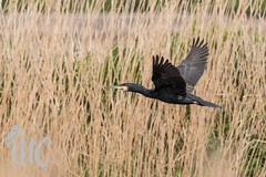 Cormorant in flight after going under every time I moved from behind the reeds. (cole_mathew) Tags: rspbexminster exeter devon uk canon wildlife bird spring flight cormorant