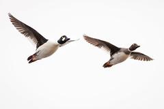 Goldeneye ducks (ingridvg) Tags: goldeneye ducks flying