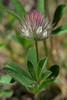 Trifolium arvense (Hare's-foot Clover) (Hugh Knott) Tags: trifoliumarvense haresfootclover fabaceae flora switzerland zermatt helvetica valais