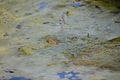 Ranas en la Font Sangonera (esta_ahi) Tags: fontsangonera granota rana frog latorredenvernet santmartísarroca penedès barcelona spain españa испания anura amphibia fauna algas