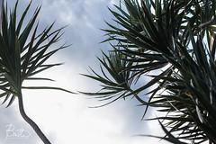 Lauhala (Jaymi Britten) Tags: lauhala hawaiian hawaii hawaiianplant earth nature earthday environment brittenphoto trees naturephotography planetearth plants sky bluesky oahu silhouettes life jaymibritten