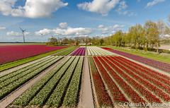 Mondriaan in de Nop (Chantal van Breugel) Tags: bloemen landschap tulpen tulpenveld bloembollen lente mondriaan creil noordoostpolder flevoland april 2017 canon5dmark111 canon1635