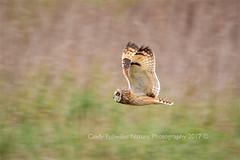 Short Eared Owl (CindyFullwiler Nature Photography) Tags: short owl dungeness recreational park sequim wa owls raptors nikon d7100 eared