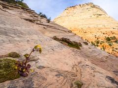 Zion Monkeyflower In Situ (xjblue) Tags: 2017 cactushugger hurricane mtb stgeorge utah landscape race scenic trip wildflower rock sandstone flora southernutah zionnationalpark spring