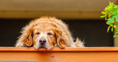 Sleepy Time (mylesfox) Tags: goldie pet dog retreiver