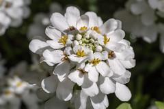 Schleifenblume - Candytuft (riesebusch) Tags: berlin garten marzahn