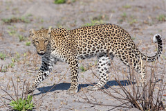 Leopard (Thomas Retterath) Tags: 2016 africa afrika allrightsreserved animals bigfive botswana carnivore copyrightthomasretterath cub felidae kwando lebala leopard mammals natur nature pantherapardus predator raubtiere säugetier thomasretterath tiere wildlife