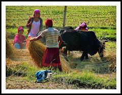 NEPAL, Auf dem Weg nach Pokhara, Ernte,  16054/8315 (roba66) Tags: reisen travel explore voyages roba66 visit urlaub nepal asien asia südasien pokhara landschaft landscape paisaje nature natur naturalezza rural ernte farmer bauern dreschen