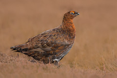 Male Red Grouse (BlakeWildlife) Tags: grouse redgrouse maleredgrouse nature wildlife bird highlands yorkshire