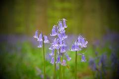 #bluebells #springtime #dockeywood #fujifeed #berkhamsted (marcuscheshire) Tags: bluebells springtime dockeywood fujifeed berkhamsted