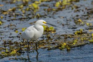 Snowy Egret, Aigrette neigeuse, Egretta Thula