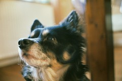 Hund (maxscherf236) Tags: tier tiere hund hunde tiger analog photography march home haus drinnen