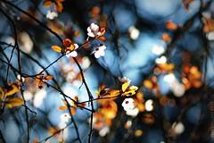 Promise me spring  [e x p l o r e d] (isolano.) Tags: promise spring flower blossom explore