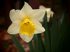 x170414_15_daffodil (dorothylee) Tags: flowers floral flower botanical garden nature color colour colorful colourful dorothyleephotography photography photo photograph daffodil daffodils