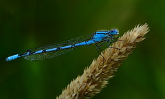 Blue Damselfly (Kerry711) Tags: sony a77 alpha tamron 90mm lens macro blue damselfly insect wings wild wildlife nature grass closeup
