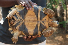 DSC07405_DxO weibliche Schildkröte_Bildgröße ändern (Jan Dunzweiler) Tags: madagaskar africanbikers reniale renialareserve jandunzweiler schildkröte turtle tortue