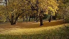Golden autumn in a park in Wloclawek (dreptacz) Tags: liście jesień żółty drzewa park trawnik włocławek polska sony sony55v slt55 lustrzanka krajobraz sonyflickraward