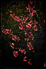 _RKM0328-01 (bighornplateau1) Tags: flowers foresthome forestfalls california 2017 sunset backlighting