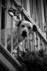 living proof... (Dirty Thumper) Tags: nikon d5200 dslr nikkor 18105mm zoom rome city street dog balcony bw monochrome sangiovanniinlaterano travel