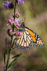 Purple Passion (Portraying Life, LLC) Tags: michigan unitedstates butterfly meadow nectar handheld nativecolor closecrop
