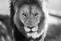 Caesar (Vincent Chopard • Wildlife photographer) Tags: lionhead lionkenya masaimaralion lions kenyawildlife kenya masaimara africa africanexpedition africanexperience wildlife nikonwildlife wildlifephotography africanwildlife nikond800 nikon nikonphotography nikkor nikkorlens nikkor400mmf28 swissartist swissphotographer vincentchopard bigcats cutenessoverload caesar kingnotch