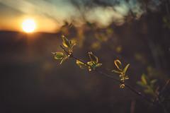 Sunkissed (sue.konvalinkova) Tags: sunset spring nikon 35mm goldenhour justbeforesunset halo green foliage reachout tothesun