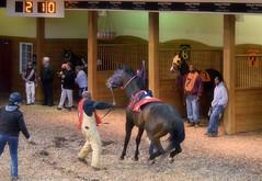 2017-03-30 (23) r2 #1 Henrys Way in the paddock at CTR (JLeeFleenor) Tags: photos photography charlestown westvirginia wv westvirginiaracing wvracing hollywoodcasino horses thoroughbreds equine equestrian cheval cavalo cavallo cavall caballo pferd paard perd hevonen hest hestur cal kon konj beygir capall ceffyl cuddy yarraman faras alogo soos kuda uma pfeerd koin حصان кон 马 häst άλογο סוס घोड़ा 馬 koń лошадь paddock
