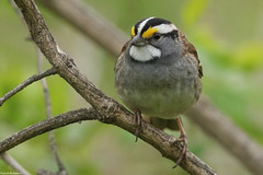 White-throated Sparrow - Apr-21-2017 (11-1) (JPatR) Tags: 2017 500mmf4 april canon7dmarkii illinois spring whitethroatedsparrow backyard bird nature sparrow wildlife
