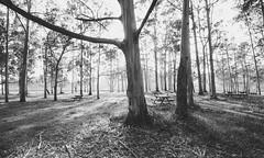 3041 (saul gm) Tags: park forest forestal eucaliptos trees árboles luz light shadows sombras nature outdoors spain españa europe asturias asturies villaviciosa rodiles blancoynegro blackandwhite greys greyscale bw byn bn bosque monocromatico picnic