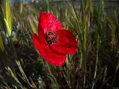 Vestida de gules en campo de sinople (Luicabe) Tags: airelibre amapola botaìnica cabello campo enazamorado espiga exterior flor hierba luicabe luis naturaleza planta yarat1 zamora ngc botánica