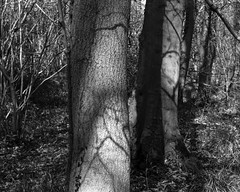 Trees and shadows (The Lower Guards Wood) (Jonathan Carr) Tags: tree shadow abstract landscape rural northeast black white bw monochrome toyo45a 4x5 5x4 largeformat
