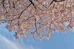 Cherry blossoms (namhdyk) Tags: sakura cherry cherryblossoms blossoms flower canon canonpowershot canonpowershotg7x