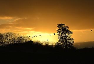Birds in a Fermanagh sunset.