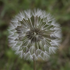 Nature que tu es belle ... le pissenlit (Carozib) Tags: pissenlit fleur flower sphere géométrique cercle dandelion flore macro green garden jardin pelouse gazon nature