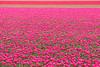 DSC_2972 (Omar Rodriguez Suarez) Tags: bloemenstreek tulips bulbs tulipanes bulbos flowers flores