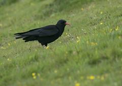 Chough (lord wardlaw) Tags: chough gwynedd north wales wildlife