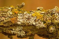 Life On An Oak Branch:  Lichens (J Henry G) Tags: lichen oakbranch macro nature johnhenrygremmer