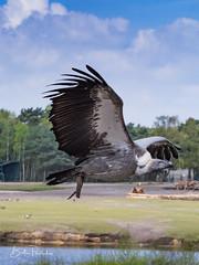 IMG_1797 (Bert Portael) Tags: vulture bird wildlife beeksebergen animals wilde dieren