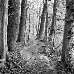 (salparadise666) Tags: mamiya c330 sekor 80mm fuji neopan acros 100200 caffenol cl semistand 36min nils volkmer square format medium 6x6 nature landscape monochrome bw black white wood path germany niedersachsen region hannover calenberger land vintage camera tree