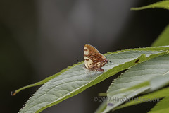 Spindasis masaeae (Hiro Takenouchi) Tags: spindasis lycaenid lycaenidae butterflies butterfly thailand nature insect wildlife schmetterling papillon