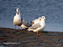 DSC03521 Black-headed Gulls (Chroicocephalus ridibundus) (vlupadya) Tags: greatnature animal bird aves fauna indianbirds black headed gull chroicocephalus kundapura karnataka