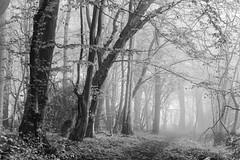 Fog (hammermad) Tags: woods blackandwhite black white walk essex exposure morning mist mono monocromatic misty mistymorning fog foggy forest trees tree