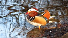 Mandarin duck (x3 Nostalgie x3) Tags: mandarin duck mandarinente aix galericulata jacobi weiher frankfurt oberschweinstiege