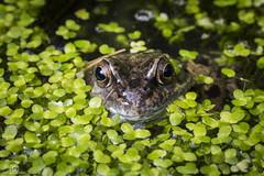 Watching... (CamraMan.) Tags: frog macro pond weed tamron90mm canon6d nature eyes watching ©camraman