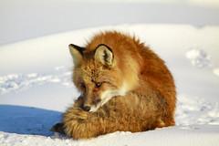 Spring Cleaning (blkwolf1017) Tags: fox redfox spring snow fur k9 sun prudhoebay deadhorse alaska canon50d sigma150500mm