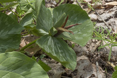 Trillium cuneatum, Blue Spring Railroad Grade, White County, Tennessee (Chuck Sutherland) Tags: trilliumcuneatum littlesweetbetsy brown wildflower flower bluespring railroadgrade whitecounty tennessee tn