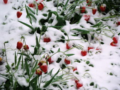 Snow in April. Tulips (R_Ivanova) Tags: nature snow plant spring garden flower flowers sony rivanova риванова цветя сняг пролет