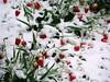 Snow in April. Tulips (R_Ivanova) Tags: nature snow plant spring garden flower flowers sony rivanova риванова цветя сняг пролет